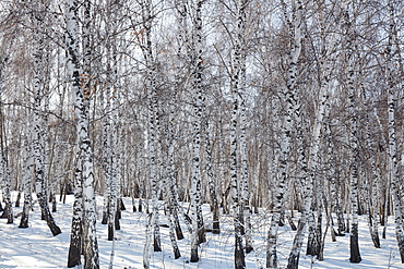 Birch forest in Siberia in winter, Siberia, Russia, Eurasia