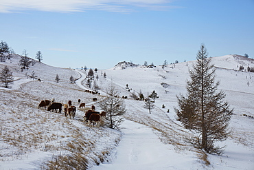 Cows in the Tazheran steppe along the western shores of Lake Baikal in winter, Siberia, Russia, Eurasia
