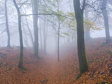 Heavy fog amongst Beech trees in autumn with their attractively coloured leaves at Woodbury Castle, near Exmouth, Devon, England, United Kingdom, Europe