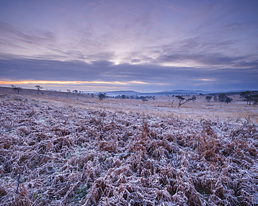 Heavily frosted bracken on the heathland of Woodbury Common, near Exmouth, Devon, England, United Kingdom, Europe