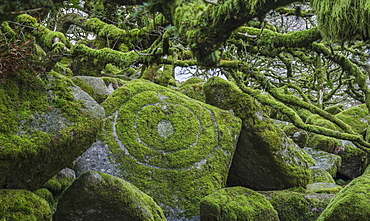 Circles in moss amongst the distinctive gnarled moss and fern covered oaks in Wistman's Wood, near Princetown, Devon England, United Kingdom, Europe