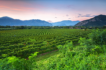 Vineyard at sunset in Franciacorta, Italy, Europe