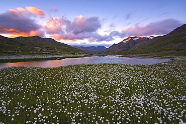Cotton grass blooming in Gavia Pass at sunset, Stelvio National Park, Val Camonica, Brescia Province, Lombardy, Italy, Europe