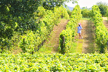 Woman immersed in the vineyards of Franciacorta, Brescia province, Lombardy, Italy, Europe