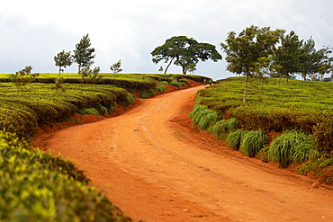 Cultivation of tea in the south of Malawi, East Africa, Africa