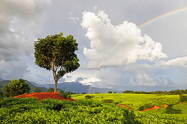 Tea crops in the south of Malawi, East Africa, Africa