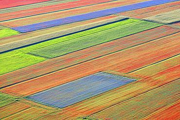 Lentil fields in bloom in Castelluccio di Norcia, Umbria, Italy, Europe