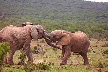 Elephants at Addo Elephant Park, South Africa, Africa