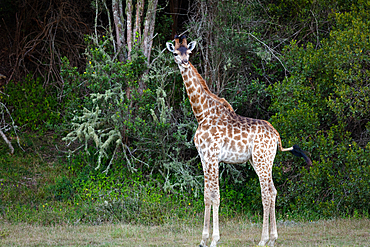 Giraffes on Safari in South Africa, in a private game reserve, South Africa, Africa