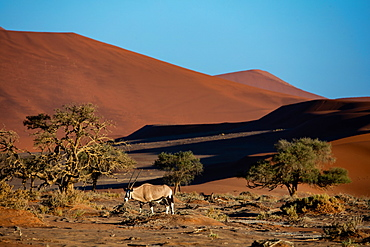 Oryx strolls through the Sossusvlei National Park at sunrise, Namibia, Africa