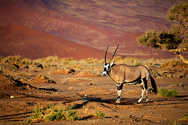 Oryx strolls through the Sossusvlei National Park, Namibia, Africa