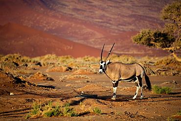Oryx strolls through the Sossusvlei National Park, Namibia, Africa
