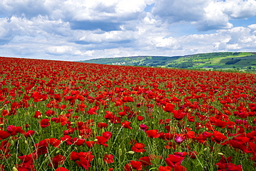 Beautiful red poppies set in the Derbyshire countryside, Baslow, Derbyshire, England, United Kingdom, Europe