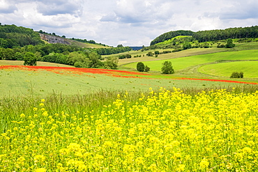 Poppy field with oil seed rape set in beautiful Derbyshire countryside, Baslow, Derbyshire, England, United Kingdom, Europe