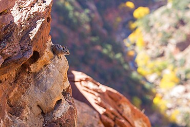Uinta chipmunk (Neotamias umbrinus) clinging to rocks high above Pine Creek, autumn, Zion National Park, Utah, United States of America, North America