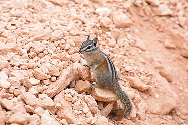 Least chipmunk (Neotamias minimus) on rocks beside the Queen's Garden Trail, Bryce Canyon National Park, Utah, United States of America, North America