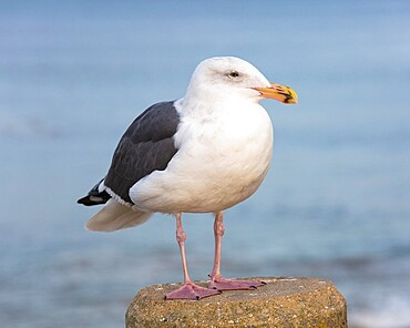 Western gull, Larus occidentalis, in non-breeding adult plumage, Monterey Bay, Monterey, California, USA