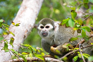 Wild squirrel monkey, Saimiri sciureus, in the gardens of Bonnet House, aka the Bartlett Estate, Fort Lauderdale, Florida, USA