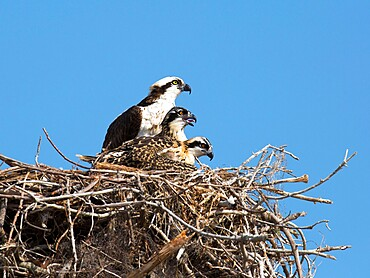 Adult osprey, Pandion haliaetus, with two chicks on nest, Flamingo, Everglades National Park, Florida, USA