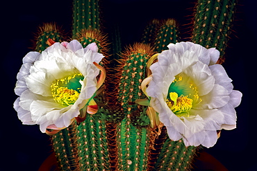 The large white blossoms of the night blooming Trichocereus Spachianus Cactus (Golden Torch Cactus), Arizona, United States of America, North America