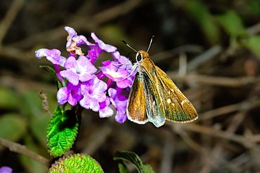 A Texas Roadside Skipper feeding on a wildflower in Arizona, United States of America, North America