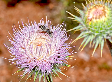 Macro photo of a Wheeler's Thistle Flower native to Arizona, United States of America, North America