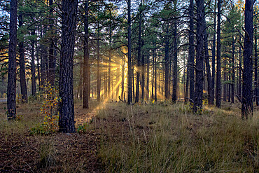 HDR composite of the late day sun shining through the trees of the Kaibab Forest near Williams, Arizona, United States of America, North America