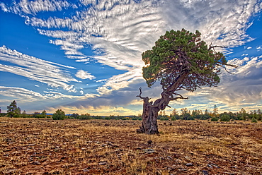 A twisted Juniper Tree near Sycamore Canyon in the Kaibab National Forest south of Williams Arizona.