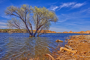 A lone tree isolated just off shore in Watson Lake in Prescott, Arizona, United States of America, North America