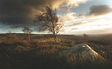 Blustery winds blowing isolated trees in the Peak District, South Yorkshire, Yorkshire, England, United Kingdom, Europe