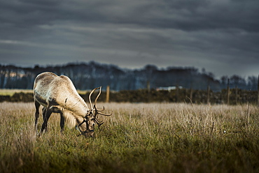 A reindeer eating grass on the outskirts of the Peak District, South Yorkshire, Yorkshire, England, United Kingdom, Europe
