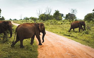 A family of elephants cross the track in Udawalawe National Park, Sri Lanka, Asia