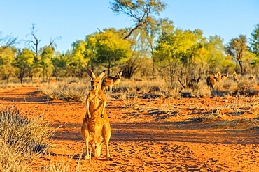 Red kangaroo (Macropus rufus) standing on the red sand of Outback central Australia, at sunset, Red Center, Northern Territory, Australia, Pacific