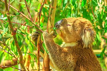 Portrait of adult koala bear eating eucalyptus leaves at Phillip Island in Victoria, Australia, Pacific