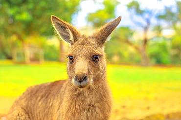 Portrait of front view of kangaroo, New South Wales, Australia, Pacific