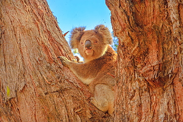 Front view of koala bear (Phascolarctos cinereus) standing on a large eucalyptus trunk in Great Otway National Park along Great Ocean Road, Victoria, Australia, Pacific