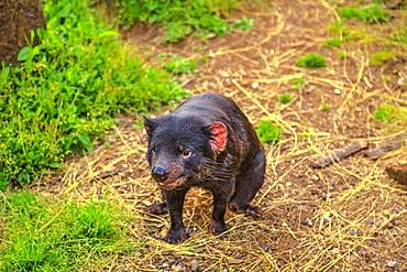Front view of Tasmanian devil (Sarcophilus harrisii), standing on the trunk, Trowunna Wildlife Sanctuary, Tasmania, Australia, Pacific