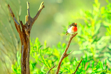 Red-capped Robin (Petroica goodenovii) on a tree with blurred nature background, Desert Park at Alice Springs, MacDonnell Ranges, Northern Territory, Central Australia, Pacific