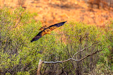 Wedge-tailed eagle (Aquila audax), Australia's largest bird of prey, flies at a low altitude near the ground, Desert Park at Alice Springs in the Northern Territory, Central Australia, Pacific