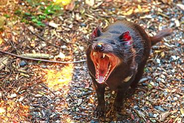 The shrill scream of Tasmanian devil (Sarcophilus harrisii), Tasmanian icon in Trowunna Wildlife Sanctuary, Tasmania, Australia, Pacific