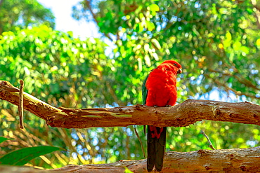 Australian King-Parrot (Alisterus scapularis) on a tree branch in a wilderness, Pebbly Beach, Murramarang National Park, New South Wales, Australia, Pacific