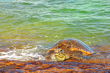 Hawaiian Sea Turtle (Green Sea Turtle) rests on the shore in Laniakea Beach (Turtle Beach) on Oahu island, Hawaii, United States of America, Pacific, North America