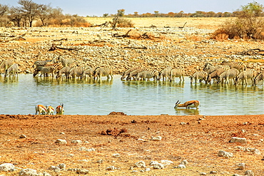 Zebras and springboks drinking at Okaukuejo waterhole, Etosha National Park, Namibia, Africa