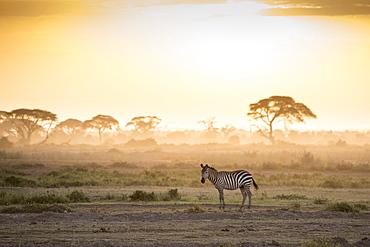 Zebras at sunset in Amboseli National Park, Kenya, East Africa, Africa
