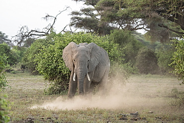 Elephant kicking up dust in Amboseli National Park, Kenya, East Africa, Africa