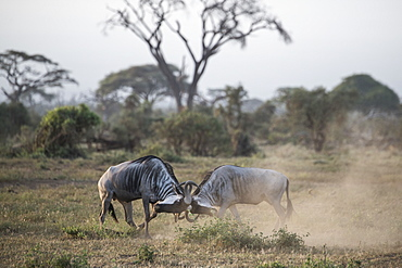 Wildebeests locking horns at Amboseli National Park, Kenya, East Africa, Africa