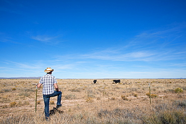 A man surveys cows roaming on ranchland in southern New Mexico, United States of America, North America