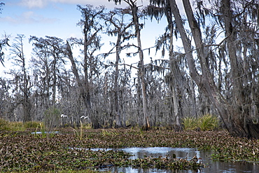 Wide angle shot of Manchac Swamp near New Orleans, Louisiana, United States of America, North America
