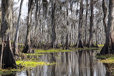 Wide angle view of Manchac Swamp near New Orleans, Louisiana, United States of America, North America