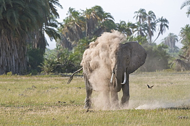 An elephant spraying itself with dust in Amboseli National Park, Kenya, East Africa, Africa